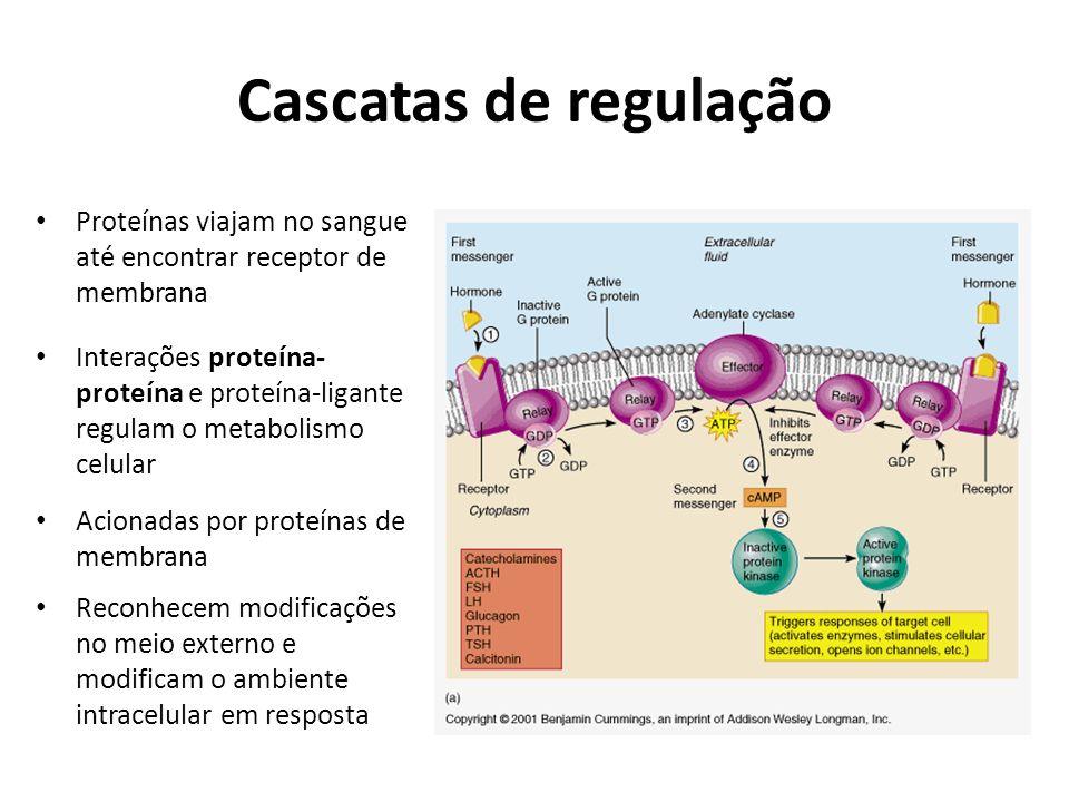 Cascatas de regulação Proteínas viajam no sangue até encontrar receptor de membrana Interações proteína- proteína e proteína-ligante regulam o metabol