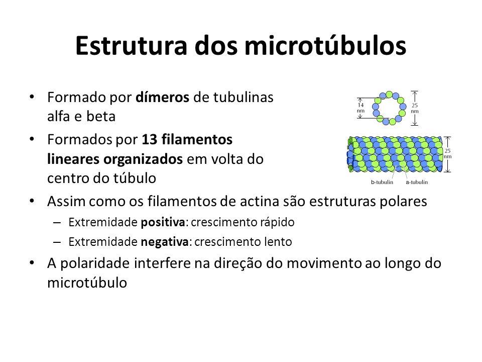 Estrutura dos microtúbulos Formado por dímeros de tubulinas alfa e beta Formados por 13 filamentos lineares organizados em volta do centro do túbulo A