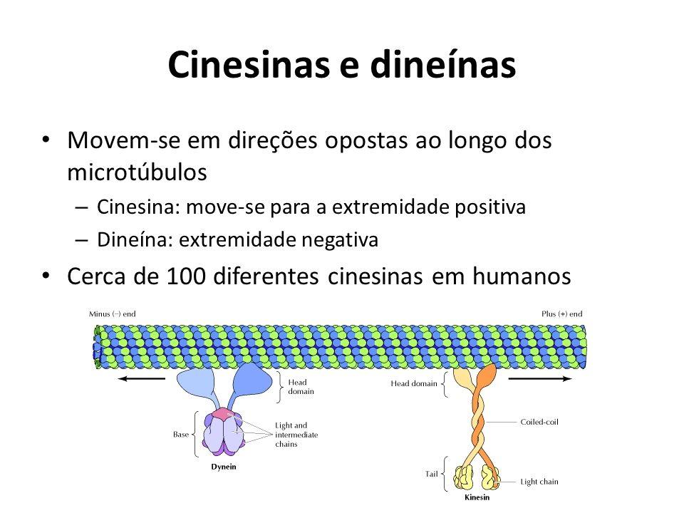Cinesinas e dineínas Movem-se em direções opostas ao longo dos microtúbulos – Cinesina: move-se para a extremidade positiva – Dineína: extremidade neg