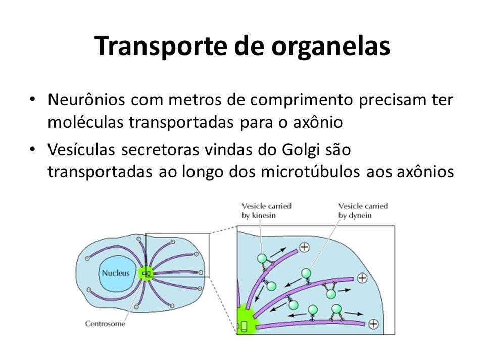 Transporte de organelas Neurônios com metros de comprimento precisam ter moléculas transportadas para o axônio Vesículas secretoras vindas do Golgi sã