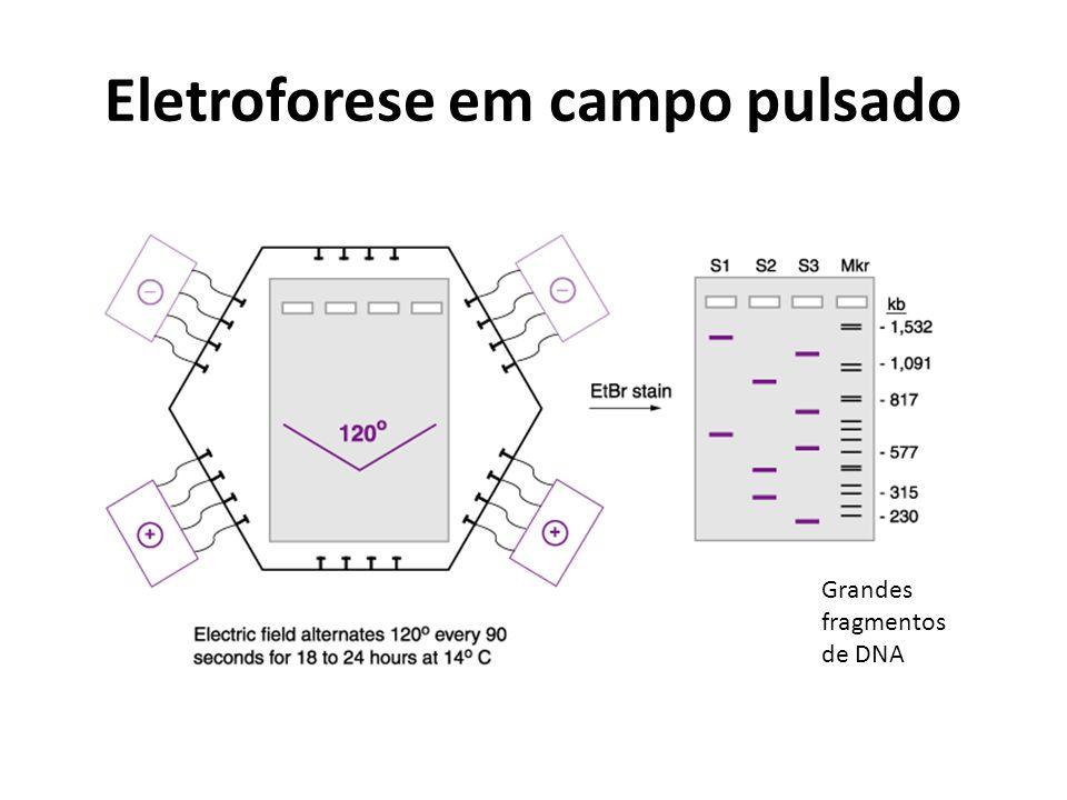 Eletroforese em campo pulsado Grandes fragmentos de DNA