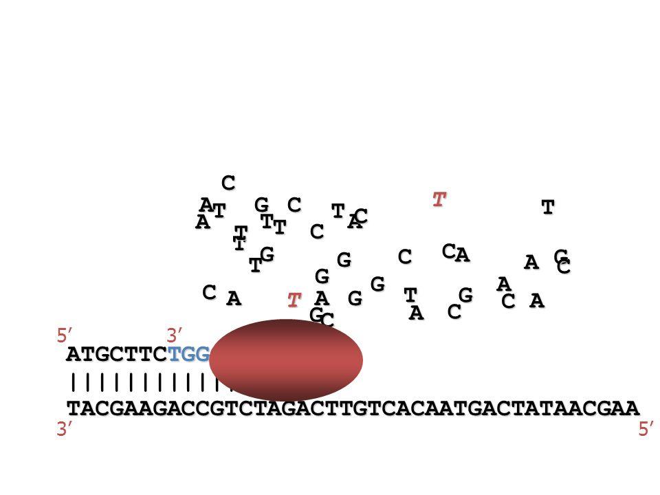 TACGAAGACCGTCTAGACTTGTCACAATGACTATAACGAA ||||||||||||||||| 53 ATGCTTCTGGCAGATCT 53A A A A A A A A A A T T T T T T T T T T T G G G G G G G G G C C C C C C C C C C C