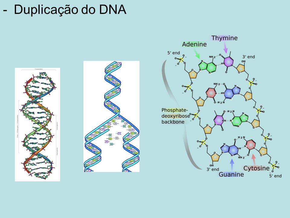 Enzimas envolvidas na duplicação do DNA - Topoisomerases - Girase - Helicase - DNA polimerase - Ligase Genética Molecular 6 www.ff.ul.pt
