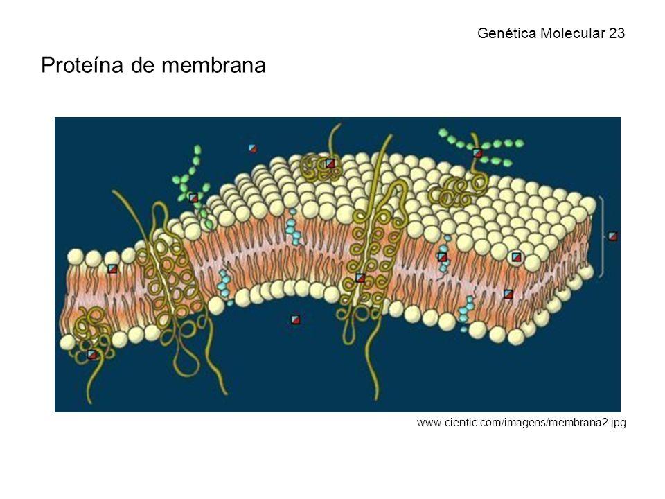 Genética Molecular 23 Proteína de membrana www.cientic.com/imagens/membrana2.jpg
