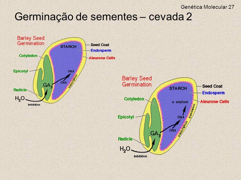 Genética Molecular 27 Germinação de sementes – cevada 2