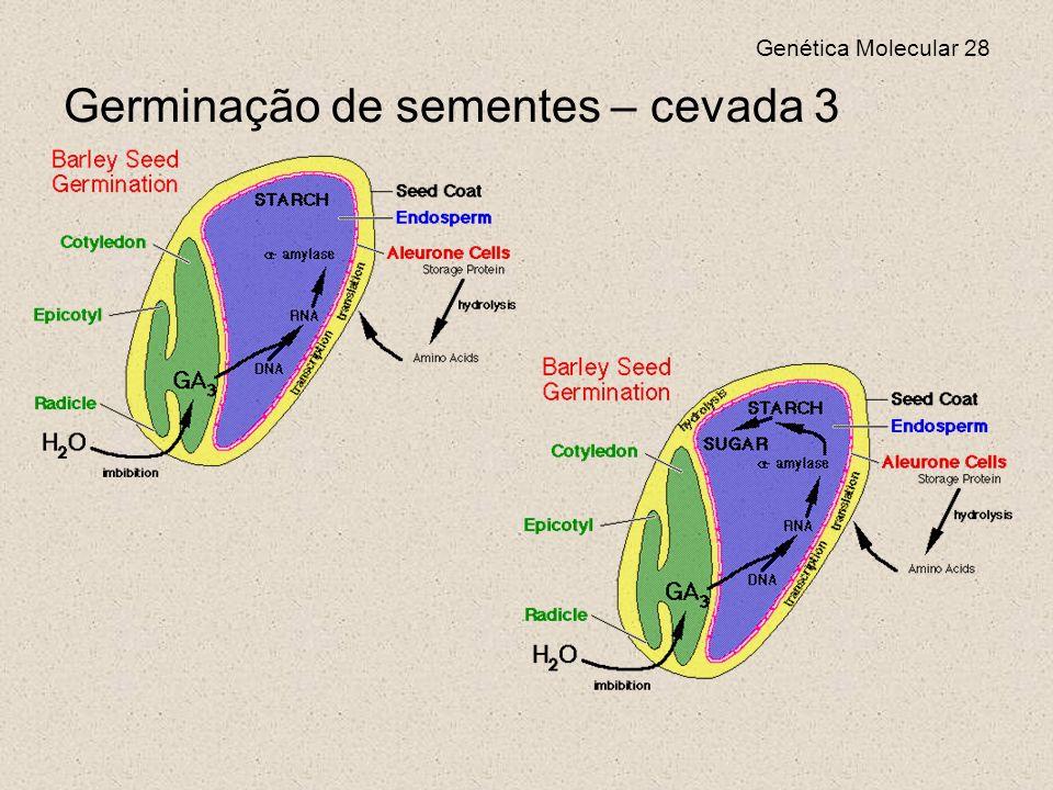 Genética Molecular 28 Germinação de sementes – cevada 3