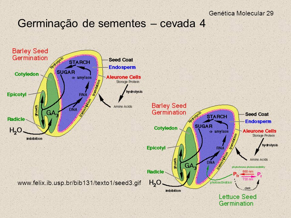 Genética Molecular 29 Germinação de sementes – cevada 4 www.felix.ib.usp.br/bib131/texto1/seed3.gif