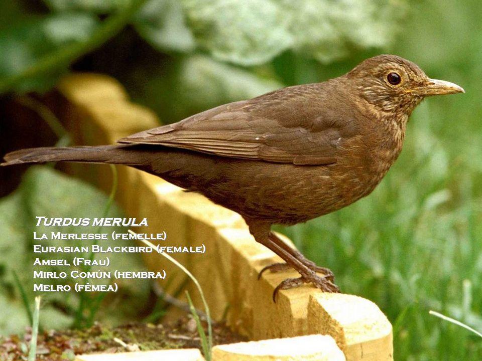 Turdus merula Le Merle Noir (Mâle) Eurasian Blackbird (male) Amsel (mann) Mirlo Común (váron) Melro-preto (macho)