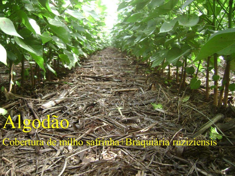 Algodão Cobertura de milho safrinha+Braquiária ruziziensis Algodão Cobertura de milho safrinha+Braquiária ruziziensis