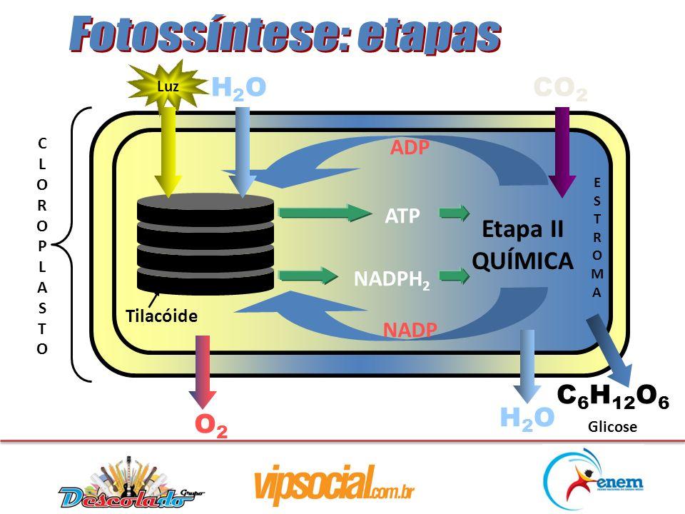 CLOROPLASTOCLOROPLASTO Tilacóide Etapa II QUÍMICA Luz H2OH2O CO 2 ADP NADP H2OH2O C 6 H 12 O 6 ATP NADPH 2 O2O2 ESTROMAESTROMA Glicose