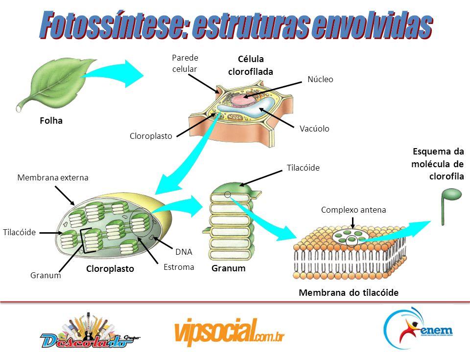 Célula clorofilada Membrana do tilacóide Esquema da molécula de clorofila Folha Granum Parede celular Cloroplasto Membrana externa Tilacóide Granum Es