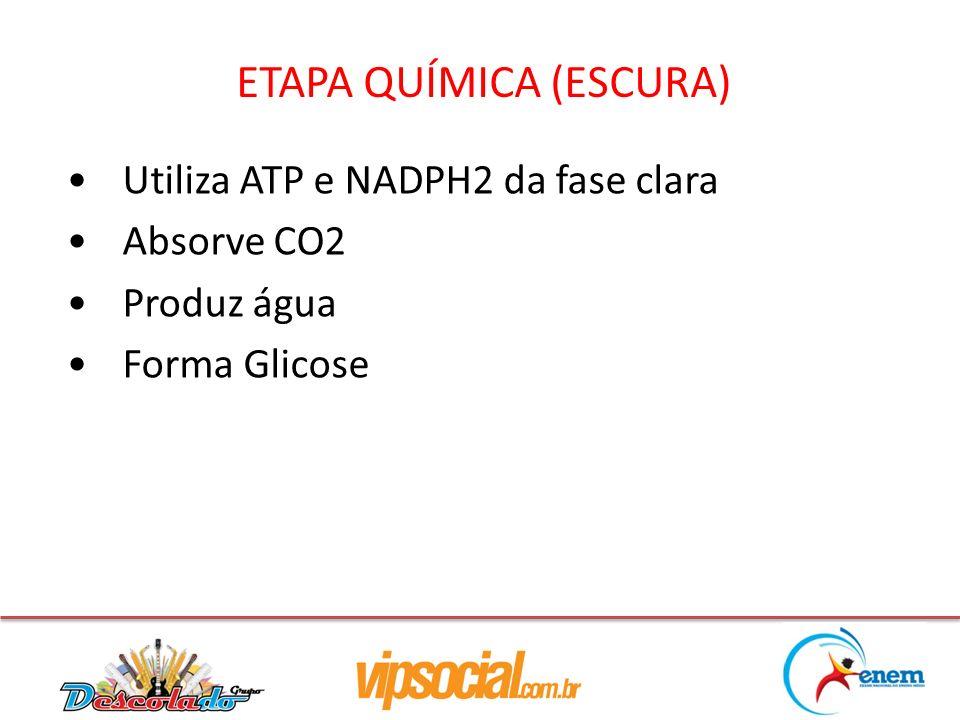 ETAPA QUÍMICA (ESCURA) Utiliza ATP e NADPH2 da fase clara Absorve CO2 Produz água Forma Glicose
