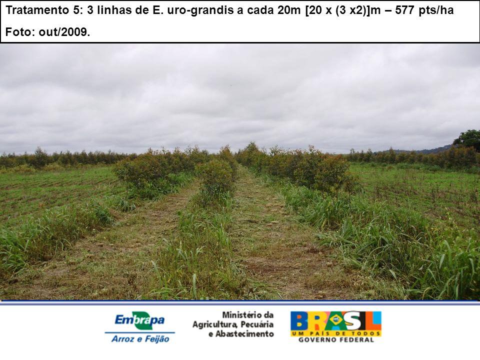 Tratamento 5: 3 linhas de E. uro-grandis a cada 20m [20 x (3 x2)]m – 577 pts/ha Foto: out/2009.