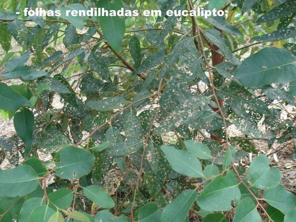 - folhas rendilhadas em eucalipto;