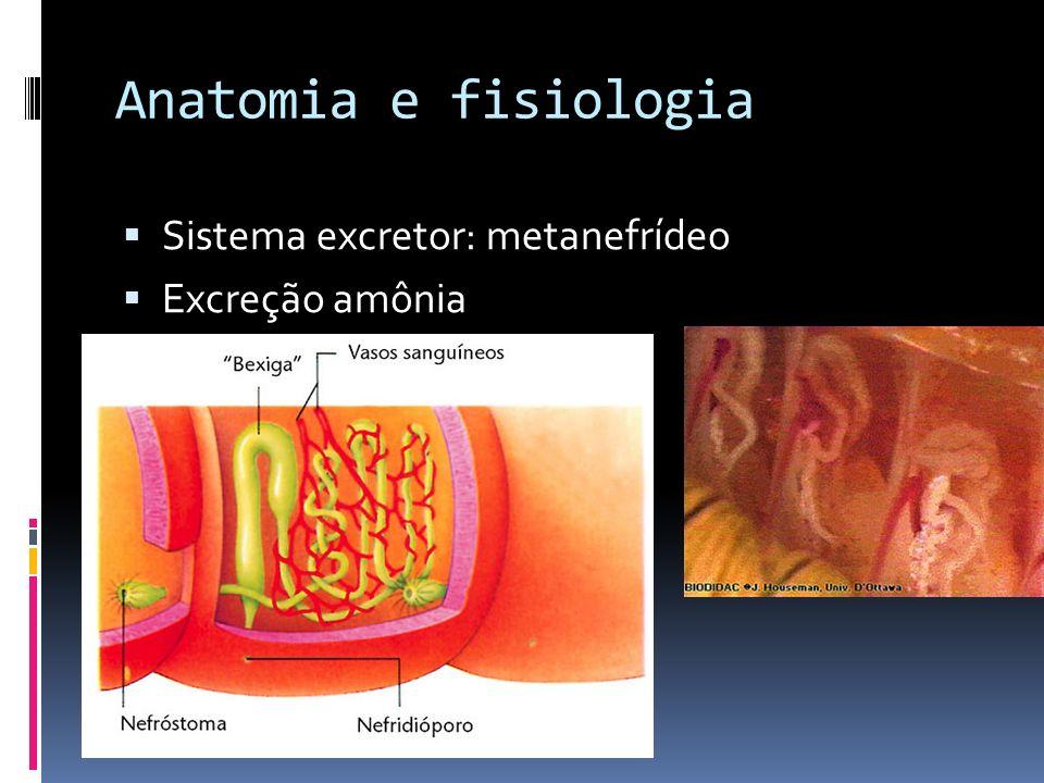 Anatomia e fisiologia: Sistema circulatório : fechado ( dentro de vasos sanguíneos), possui hemoglobina ( alguns possuem hemocianina) Sistema repirató