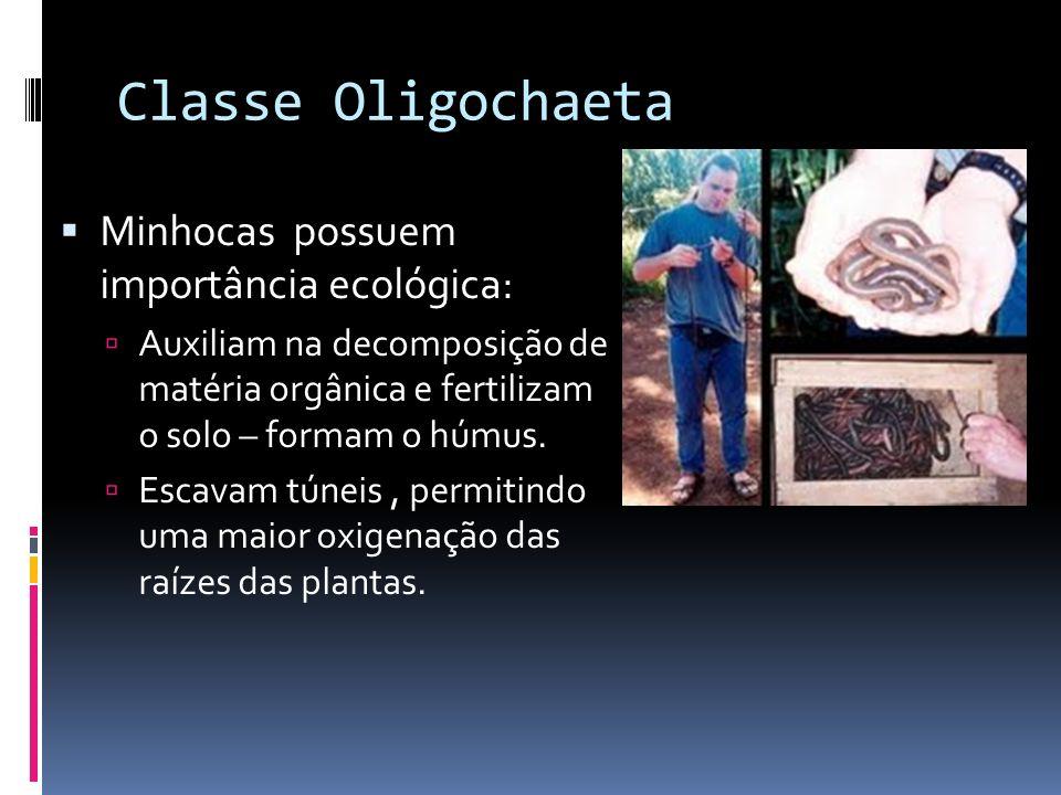 Classes: Oligochaeta ( oligos = pouco, chaeta = cerda, pêlo) Possuem poucas cerdas Cerdas são projeções corporais rígidas, constituídas por quitina qu