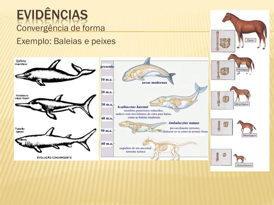 Convergência de forma Exemplo: Baleias e peixes