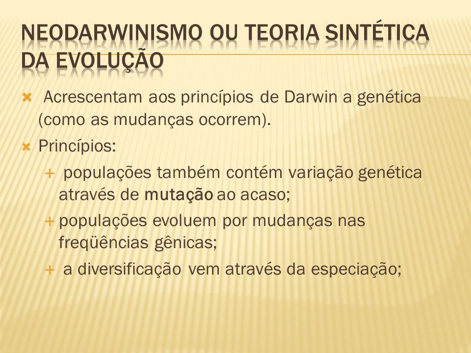Acrescentam aos princípios de Darwin a genética (como as mudanças ocorrem). Princípios: populações também contém variação genética através de mutação
