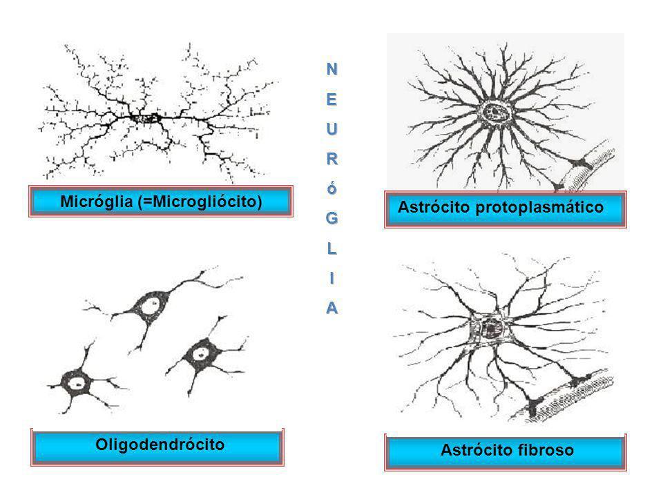 Oligodendrócito Astrócito fibroso Micróglia (=Microgliócito) Astrócito protoplasmático