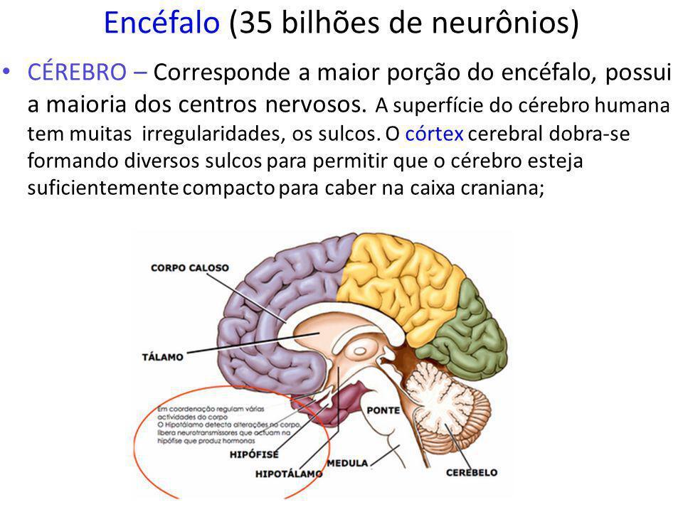 Encéfalo (35 bilhões de neurônios) CÉREBRO – Corresponde a maior porção do encéfalo, possui a maioria dos centros nervosos.