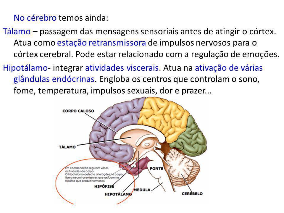 No cérebro temos ainda: Tálamo – passagem das mensagens sensoriais antes de atingir o córtex.