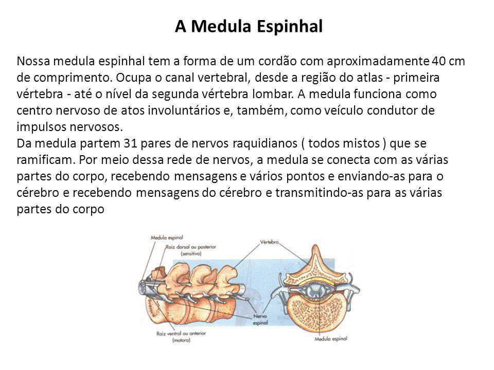 A Medula Espinhal Nossa medula espinhal tem a forma de um cordão com aproximadamente 40 cm de comprimento.