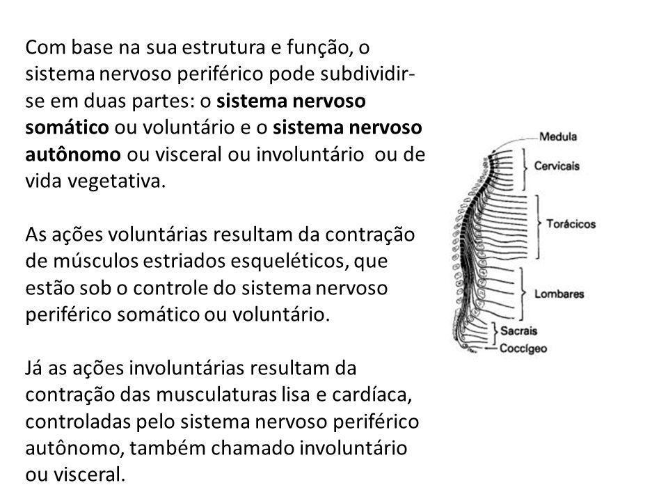Com base na sua estrutura e função, o sistema nervoso periférico pode subdividir- se em duas partes: o sistema nervoso somático ou voluntário e o sistema nervoso autônomo ou visceral ou involuntário ou de vida vegetativa.