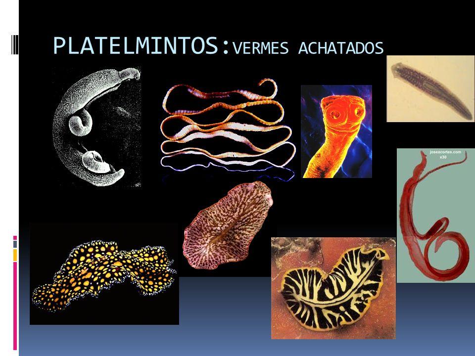 PLATELMINTOS: VERMES ACHATADOS