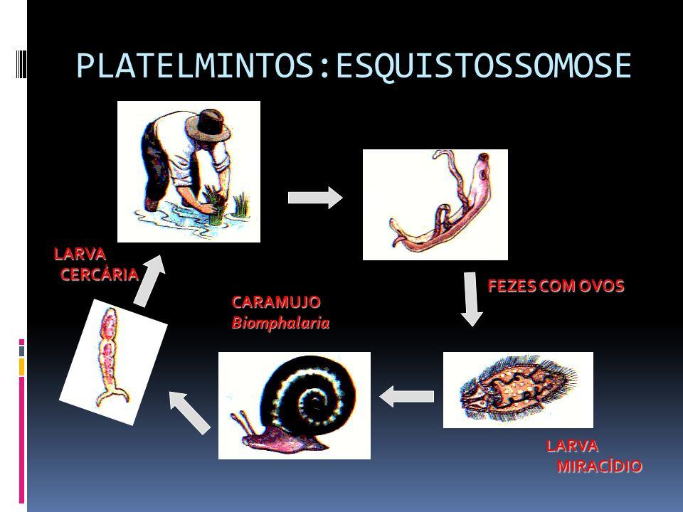 PLATELMINTOS:ESQUISTOSSOMOSE FEZES COM OVOS LARVA MIRACÍDIO MIRACÍDIO CARAMUJOBiomphalaria LARVA LARVA CERCÁRIA CERCÁRIA