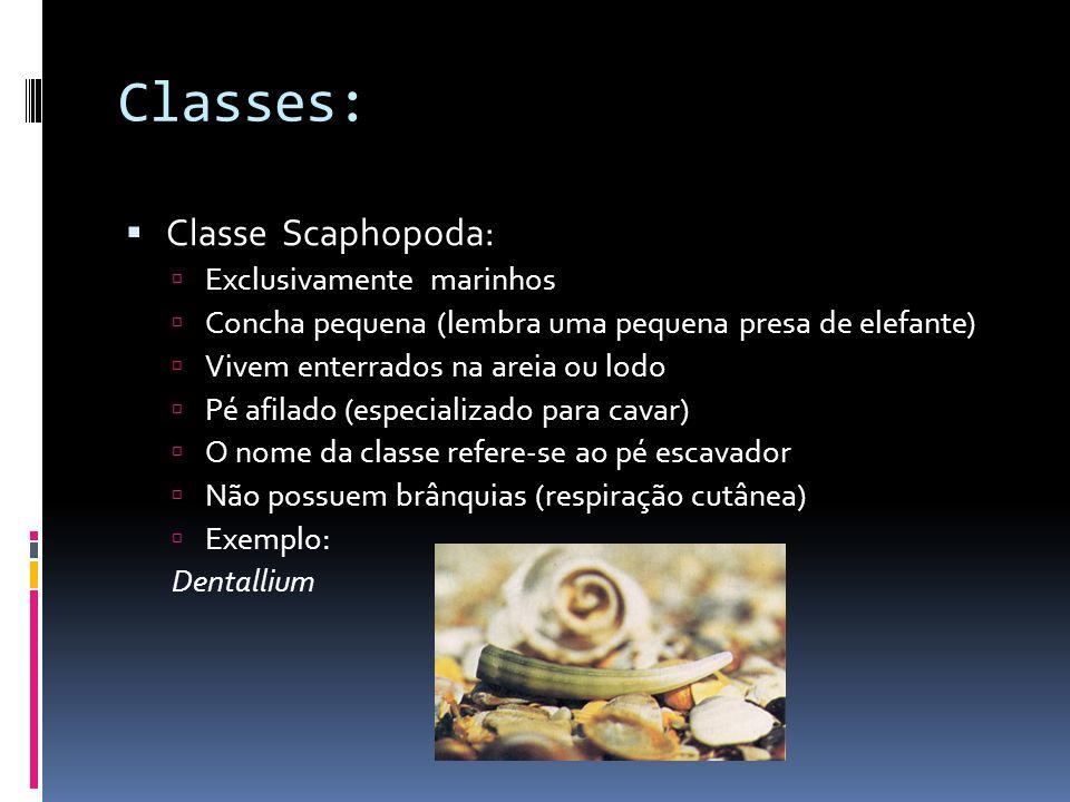 Classe Polyplacophora: