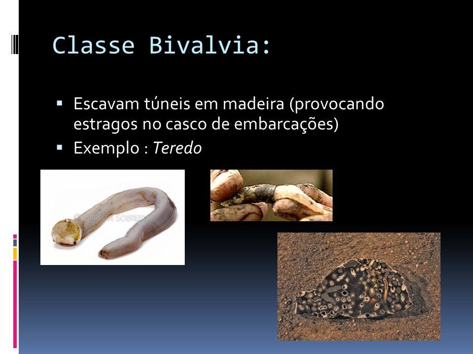 Classe Bivalvia: Vivem enterrados na areia ou lodo dos fundos aquáticos Exemplo : Mariscos e berbigões