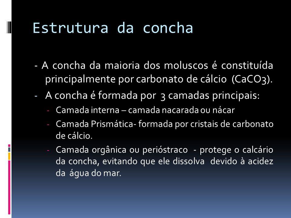 Anatomia e Fisiologia dos Moluscos Simetria bilateral Triblásticos Celoma Revestimento corporal e concha