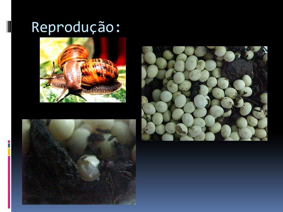Reprodução: Maioria dos gastrópodes - monóica – produz tanto óvulos como espermatozóides.
