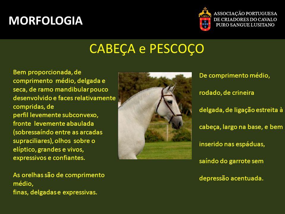 ASSOCIAÇÃO PORTUGUESA DE CRIADORES DO CAVALO PURO SANGUE LUSITANO MORFOLOGIA Braço bem musculado, harmoniosamente inclinado.