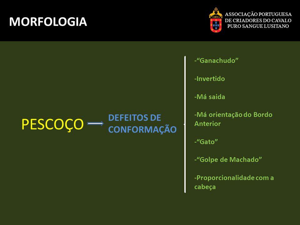 ASSOCIAÇÃO PORTUGUESA DE CRIADORES DO CAVALO PURO SANGUE LUSITANO MORFOLOGIA Angulo das quartelas QUARTELAS