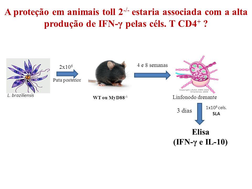 A proteção em animais toll 2 -/- estaria associada com a alta produção de IFN-γ pelas céls.