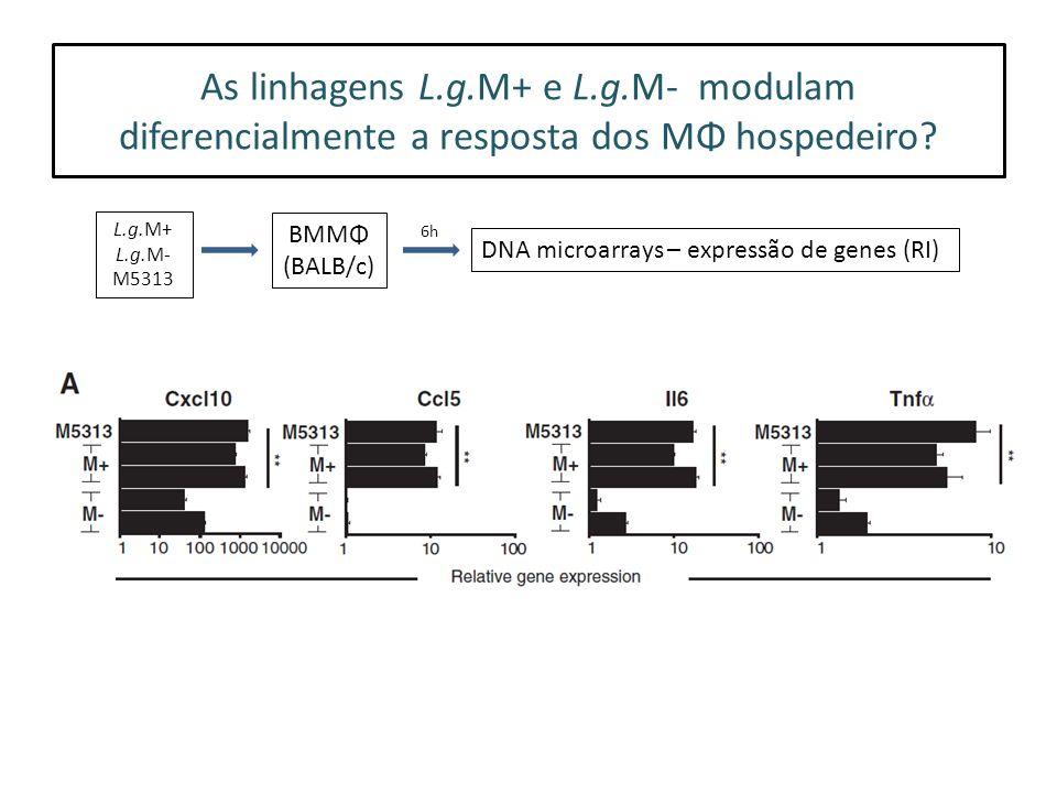 As linhagens L.g.M+ e L.g.M- modulam diferencialmente a resposta dos MΦ hospedeiro.