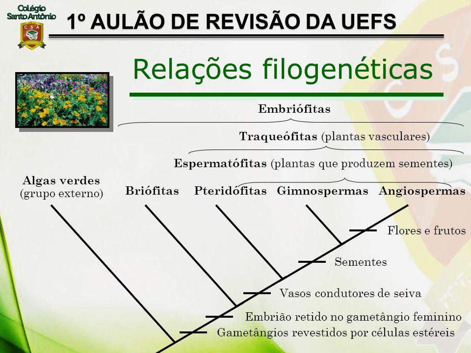 1º AULÃO DE REVISÃO DA UEFS Relações filogenéticas Algas verdes (grupo externo) BriófitasPteridófitasGimnospermasAngiospermas Gametângios revestidos p