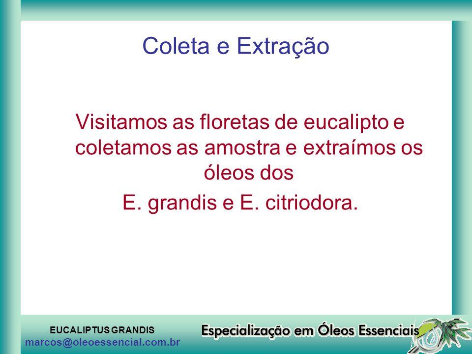 EUCALIPTUS GRANDIS marcos@oleoessencial.com.br Coleta e Extração Visitamos as floretas de eucalipto e coletamos as amostra e extraímos os óleos dos E.