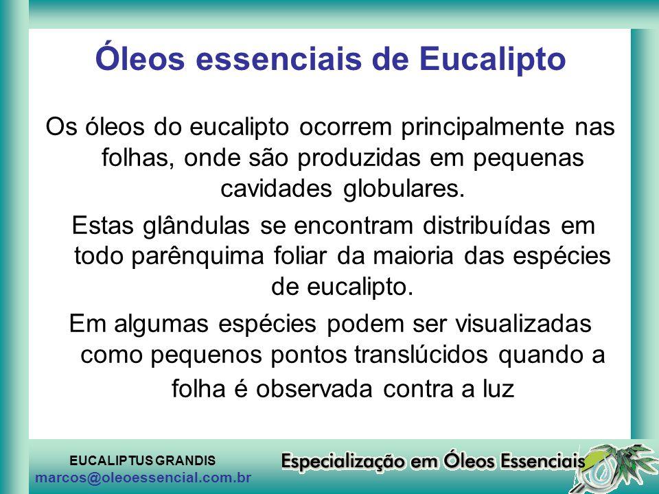 EUCALIPTUS GRANDIS marcos@oleoessencial.com.br Óleos essenciais de Eucalipto Os óleos do eucalipto ocorrem principalmente nas folhas, onde são produzi