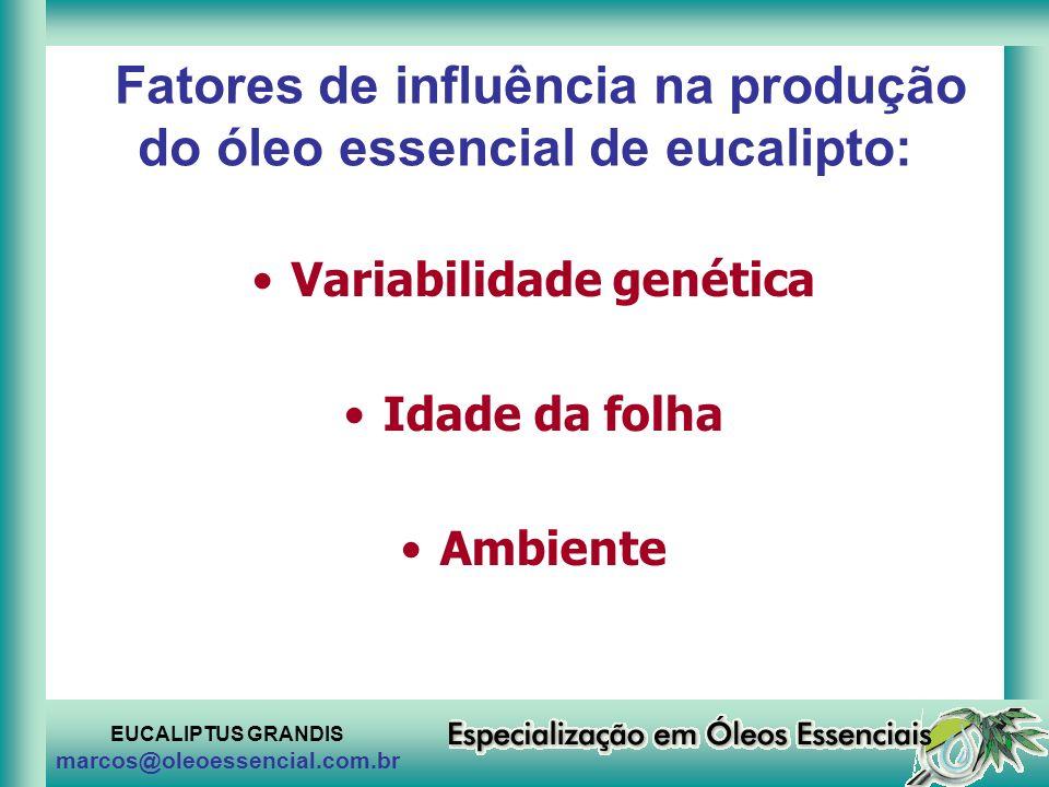 EUCALIPTUS GRANDIS marcos@oleoessencial.com.br Fatores de influência na produção do óleo essencial de eucalipto: Variabilidade genética Idade da folha