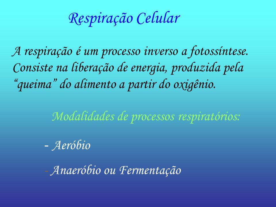 Respiração Celular A respiração é um processo inverso a fotossíntese. Consiste na liberação de energia, produzida pela queima do alimento a partir do