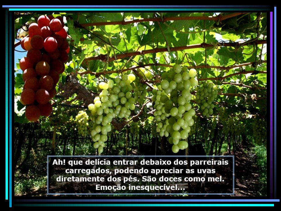 Fazendas com grandes parreirais produzindo uvas durante todos os dias do ano. A qualquer época que você visitar o Vale, encontrará uvas maduras e vinh