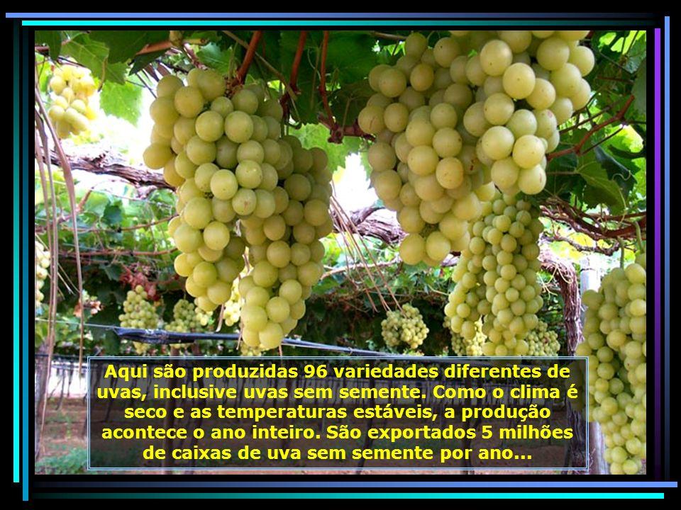Ah! que delícia entrar debaixo dos parreirais carregados, podendo apreciar as uvas diretamente dos pés. São doces como mel. Emoção inesquecível...