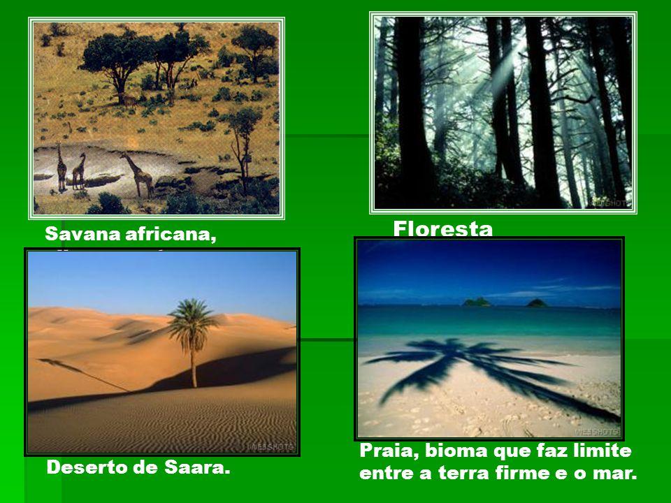 Savana africana, clima quente e seco. Deserto de Saara. Praia, bioma que faz limite entre a terra firme e o mar. Floresta