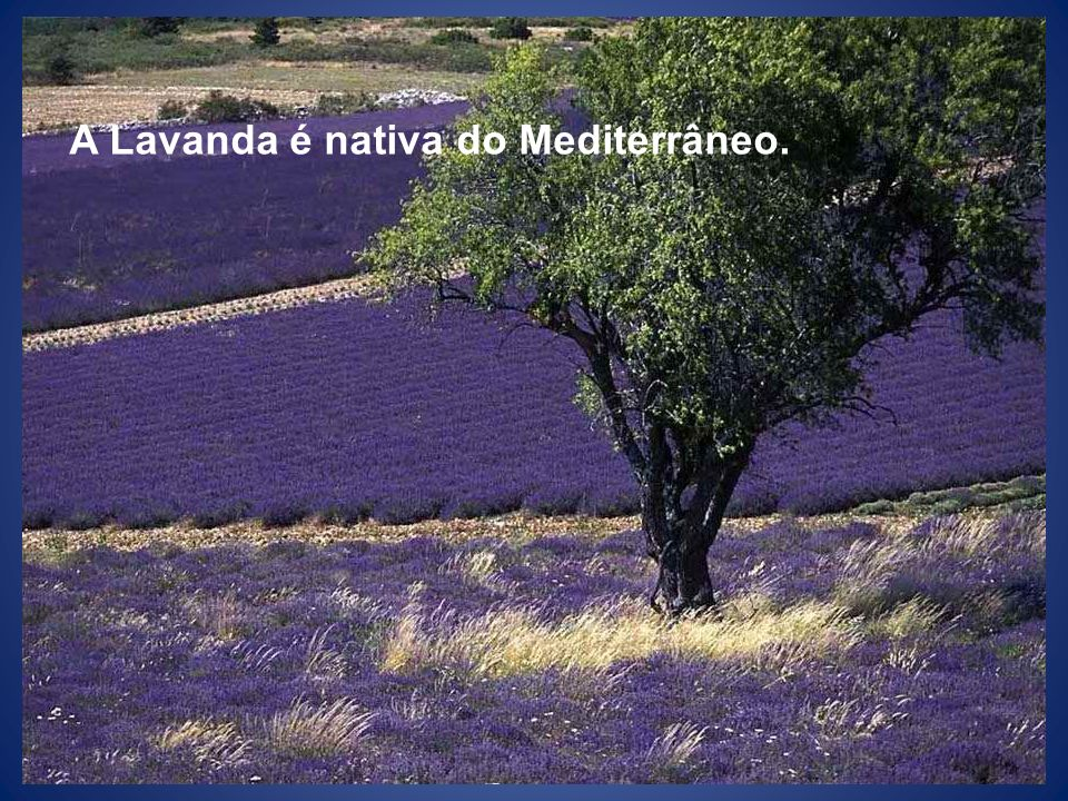 A Lavanda é nativa do Mediterrâneo.