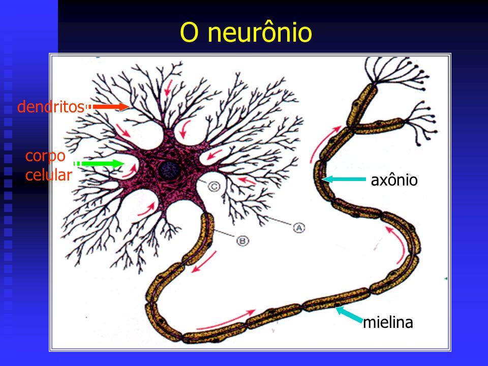 O neurônio dendritos corpo celular axônio mielina