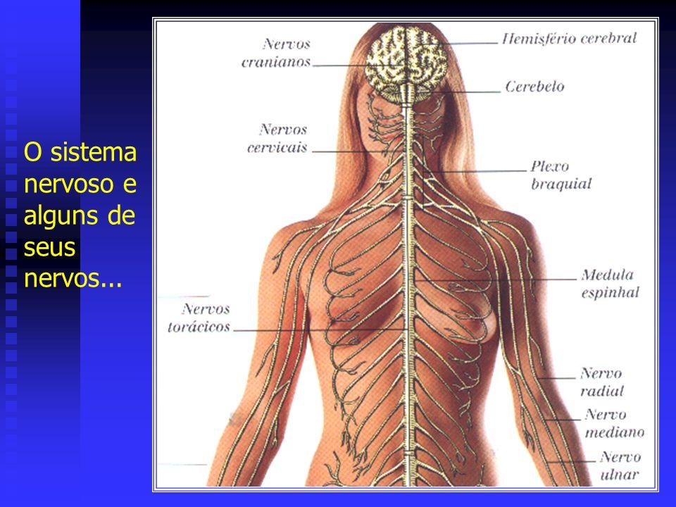 O sistema nervoso e alguns de seus nervos...