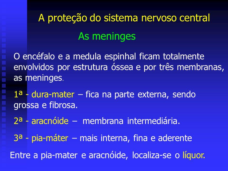 A proteção do sistema nervoso central As meninges O encéfalo e a medula espinhal ficam totalmente envolvidos por estrutura óssea e por três membranas,