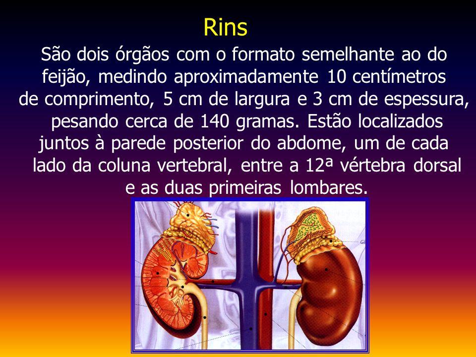 São dois órgãos com o formato semelhante ao do feijão, medindo aproximadamente 10 centímetros de comprimento, 5 cm de largura e 3 cm de espessura, pes